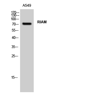 Fig. Western Blot analysis of A549 cells using RIAM Polyclonal Antibody.