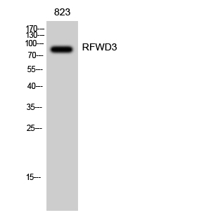 Fig. Western Blot analysis of 823 cells using RFWD3 Polyclonal Antibody diluted at 1:2000.