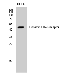 Fig. Western Blot analysis of COLO cells using Histamine H4 Receptor Polyclonal Antibody.