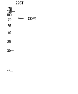 Fig. Western blot analysis of 293T lysis using COP1 antibody. Antibody was diluted at 1:1000.
