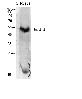Fig.1. Western Blot analysis of SH-SY5Y cells using Glut3 Polyclonal Antibody diluted at 1:2000.