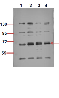 Fig.2. The picture was kindly provided by our customer,antibody was diluted at 1:500.
