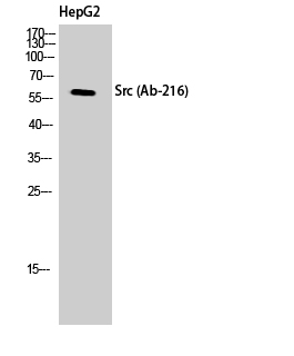 Fig. Western Blot analysis of HepG2 cells using c-Src Polyclonal Antibody diluted at 1:500.