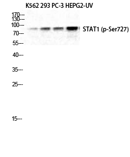 Fig. Western Blot analysis of K562 293 PC-3 HepG2-UV cells using Phospho-Stat1 (S727) Polyclonal Antibody diluted at 1:1000.