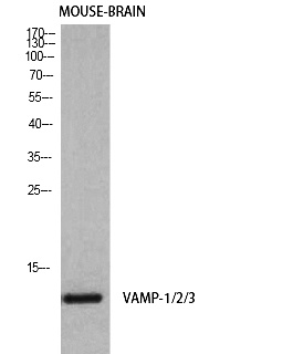 Fig. Western Blot analysis of Mouse-brain cells using VAMP-1/2/3 Polyclonal Antibody diluted at 1:1000. Secondary antibody was diluted at 1:20000.