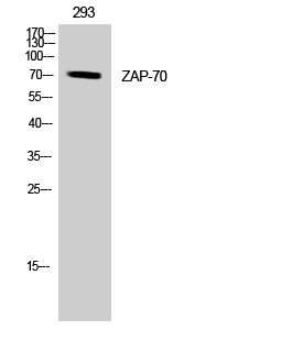 Fig. Western Blot analysis of 293 cells using ZAP-70 Polyclonal Antibody. Secondary antibod was diluted at 1:20000.