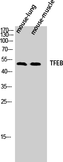 Fig.1. Western Blot analysis of Mouse-lung Mouse-muscle cells using TFEB Polyclonal Antibody diluted at 1:500.