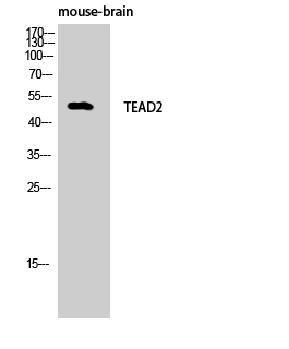Fig. Western Blot analysis of Mouse-brain cells using TEF-4 Polyclonal Antibody.