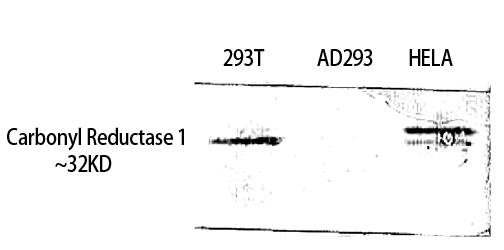 Fig. Western Blot analysis of 293T HELA using Carbonyl Reductase 1 Polyclonal Antibody. Antibody was diluted at 1:1000.
