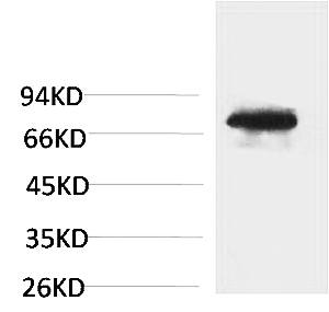 Fig.1. Western blot analysis of Human Blood sample using TF Polyclonal Antibody. Secondary antibody (catalog#: A21020) was diluted at 1:20000.