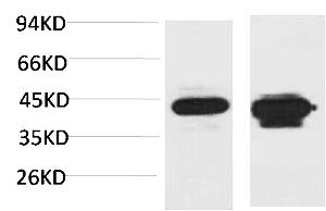 Fig. Western blot analysis of 1) Mouse Liver Tissue, 2) Rat Liver Tissue using HAO1 Polyclonal Antibody. Secondary antibody (catalog#: A21020) was diluted at 1:20000.