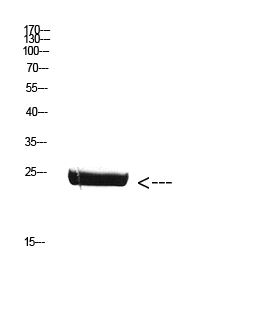 Fig. Western Blot analysis of Mouse-brain cells using Antibody diluted at 1:800. Secondary antibody (catalog#: A21020) was diluted at 1:20000.
