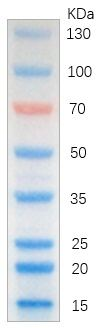 Fig. Image is from a 15% Tris-glycine gel (SDS-PAGE) transferred to membrane using Abbkine Colorcode Prestained Protein Marker (15-130 kDa). Loading volume: 5ul.