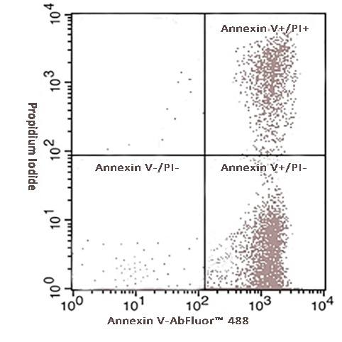 Fig.2. Hela cells were induced with camptothecin for 24 hours and stained with Annexin V- AbFluor™ 488 Apoptosis Detection Kit. The combination of AbFluor™ 488 and propidium iodide allows for the distinction between early apoptotic cells (Annexin V- AbFluor™ 488 positive), late apoptotic and/or necrotic cells (Annexin V- AbFluor™ 488 and propidium iodide positive), and viable cells (unstained).