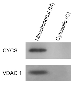 Fig. Mouse liver tissues were extracted with ExKine™ Mitochondrion Extraction Kit (Tissue). Mitochondrial (M) and Cytosolic  (C) fractions were analyzed by WB using cytochrome c antibody (cat#ABM40191) and  VDAC1 antibody (cat#ABP53121).