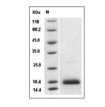 Fig.SDS-PAGE analysis of Human GDNF protein.