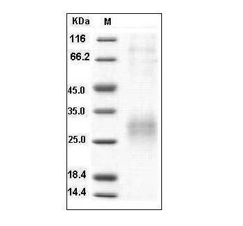 Fig.SDS-PAGE analysis of Human Sclerostin protein, His Tag.