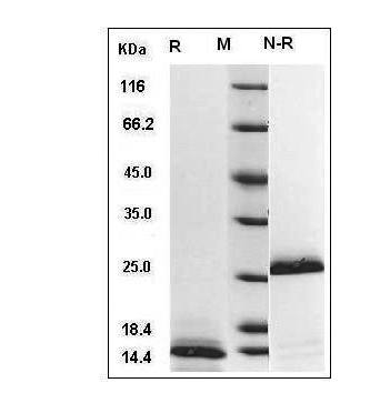 Fig.SDS-PAGE analysis of Human TGFB1 protein.