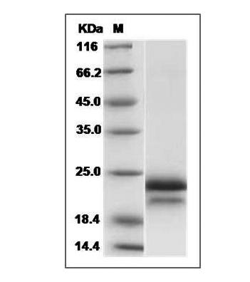 Fig.SDS-PAGE analysis of Human VEGF165 protein.