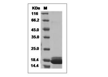 Fig.SDS-PAGE analysis of Human IFN alpha 2 protein.