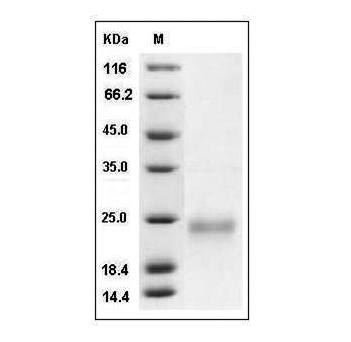 Fig.SDS-PAGE analysis of Mouse VEGF164 protein.