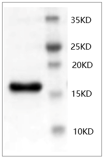 Fig.SDS-PAGE analysis of Mouse bFGF protein.