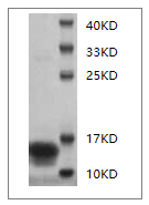 Fig.SDS-PAGE analysis of Mouse IFN-gamma protein.