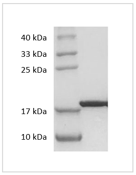 Fig. SDS-PAGE analysis of Human IL-33 protein.