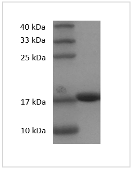 Fig. SDS-PAGE analysis of Human IL-1 beta protein.
