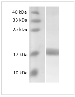 Fig. SDS-PAGE analysis of Human MCP2 protein, SUMO tag.