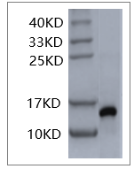 Fig. SDS-PAGE analysis of Human IL-2 protein.