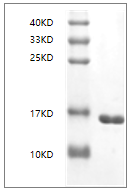 Fig. SDS-PAGE analysis of Human IL36 alpha protein, N-His tag.