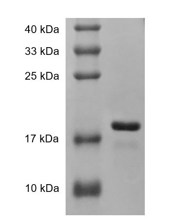 Fig. SDS-PAGE analysis of Human TRAIL protein.