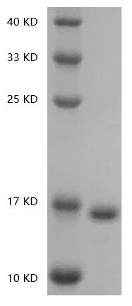 Fig.SDS-PAGE analysis of Human IL36-gamma protein.