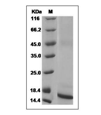 Fig.SDS-PAGE analysis of Mouse TGF-beta 1 protein.