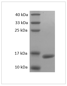 Fig. SDS-PAGE analysis of Mouse TNF-alpha protein.