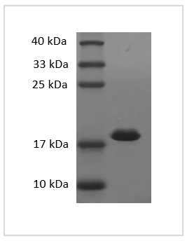 Fig. SDS-PAGE analysis of Mouse IL-1 beta protein.