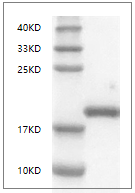 Fig. SDS-PAGE analysis of Mouse LIF protein, C-His tag.
