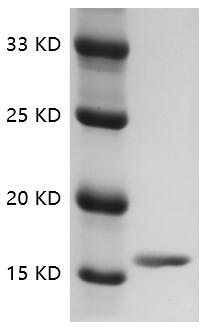 Fig.SDS-PAGE analysis of Rat TNF-alpha protein.