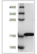 Fig. SDS-PAGE analysis of Rat IL-1 beta protein.