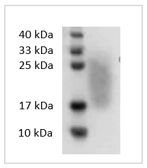 Fig. SDS-PAGE analysis of Human GM-CSF protein.