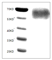 Fig. SDS-PAGE analysis of Human CD155/PVR protein, His tag.