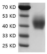 Fig.SDS-PAGE analysis of Human CD33/Siglec-3 protein.