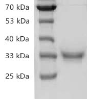 Fig.SDS-PAGE analysis of Recombinant SARS-CoV-2 Spike RBD Protein, His tag