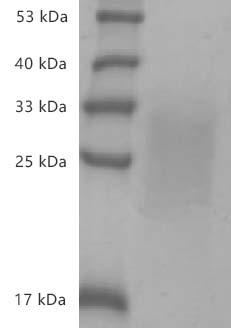 Fig.SDS-PAGE analysis of Mouse IL-13 protein, His tag