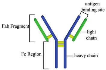 IgG抗体