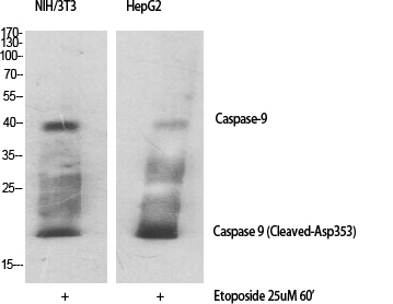 Cleaved-Caspase-9 (D353) Polyclonal Antibody Released