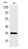 Abp53135-1
