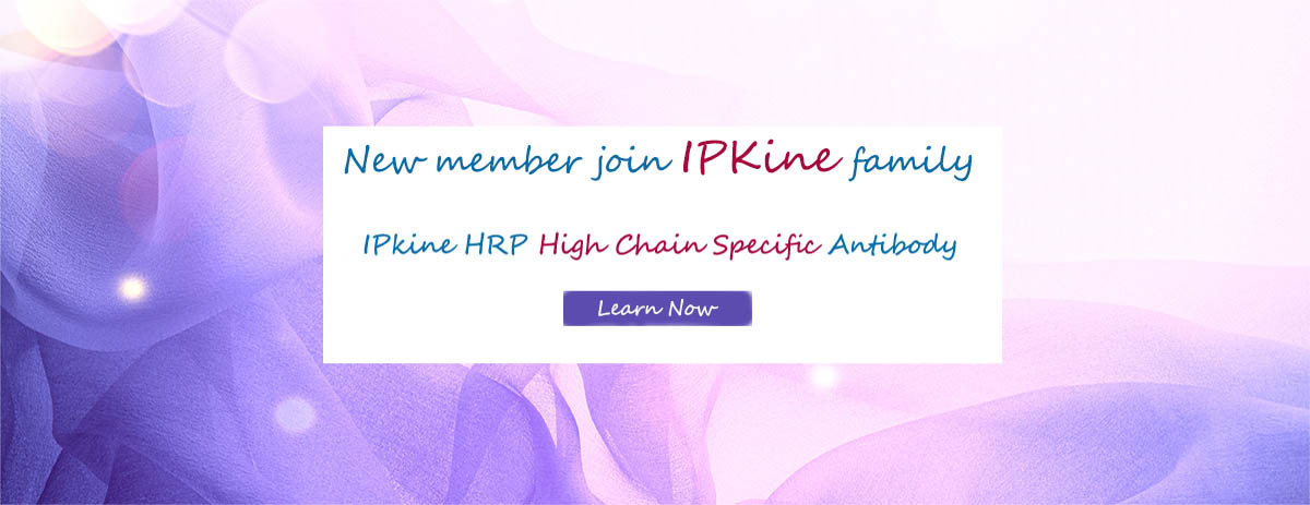 IPKine™ heavy chain specific secondary antibody