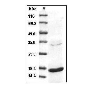 This is SDS-PAGE analysis of Human TNF-alpha protein